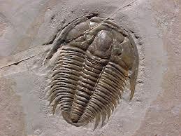 Trilobite (4)
